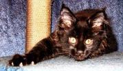 Предлагаем котят породы мейн-кун.