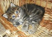 Курильского бобтейла мраморные котята-рысята