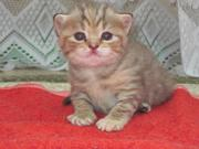 Продам британских котят разных окрасов